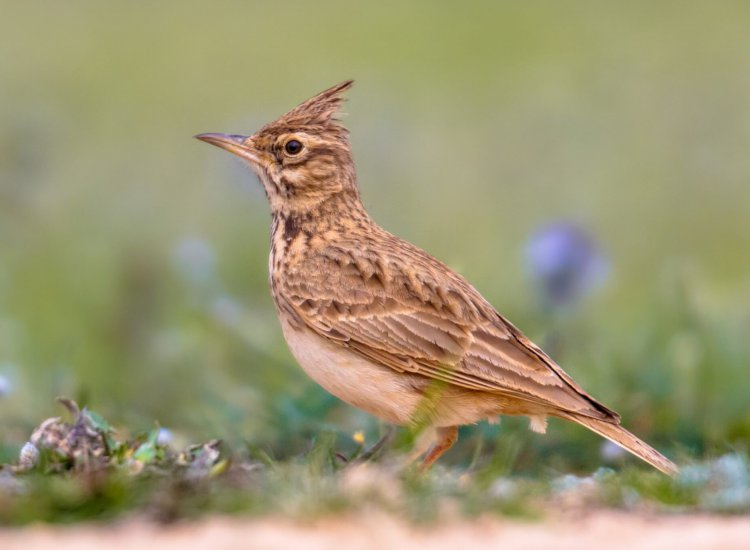 Crested lark (Galerida cristata) foraging on the ground side view in the Spanish Pyrenees, Vilagrassa, Catalonia, Spain. April.