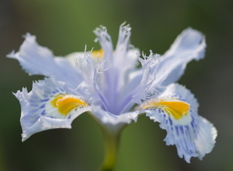 Close up of yellow and blue iris flowers under the sun