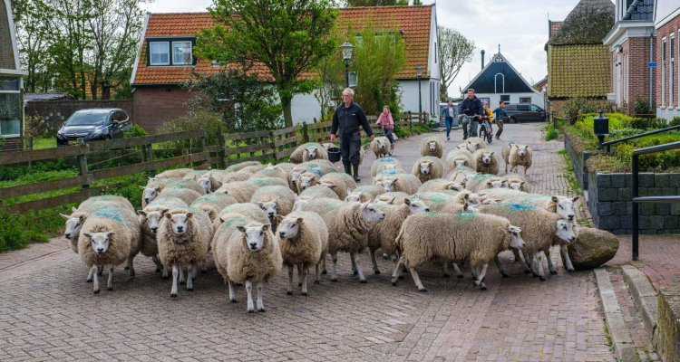 Farmer with a herd of sheep walking across a street in the little village of Den Hoorn on the island of Texel, Netherlands